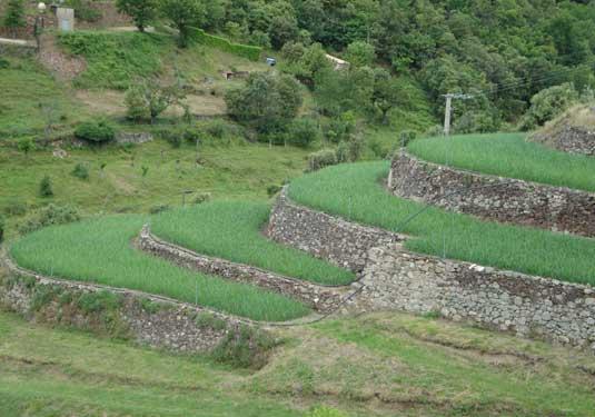 terrasses d'oignons